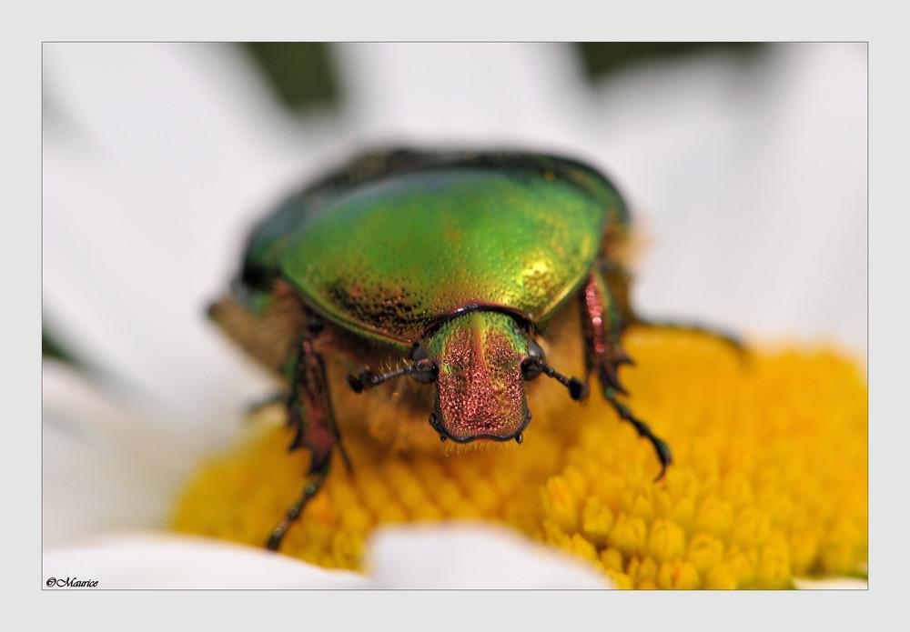 beau coléoptères