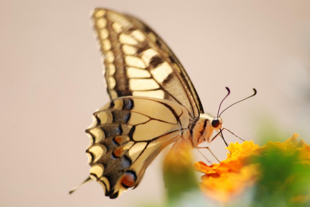 Beauté au natur 'ailes