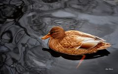 Beautiful Duck On The Pond