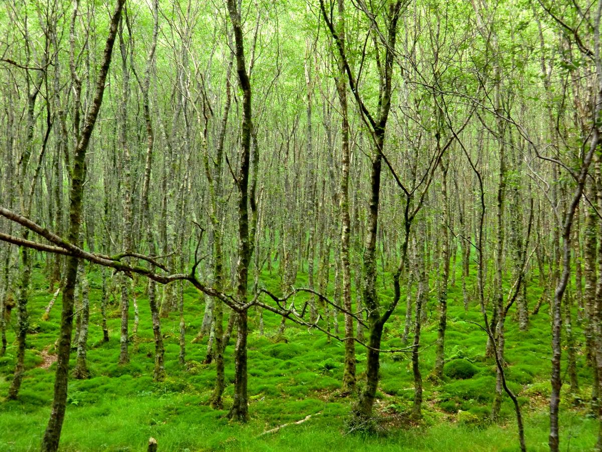 beautiful irish forest...