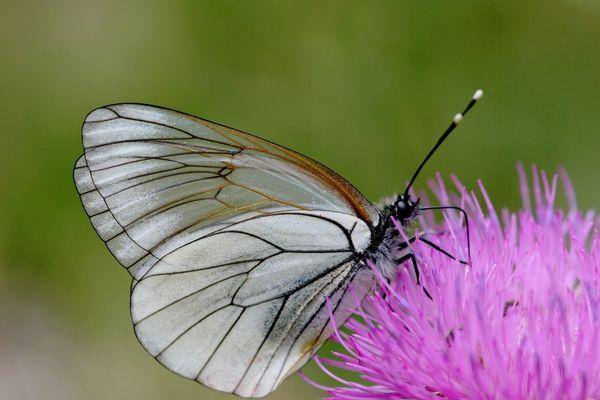 Beautiful papillon