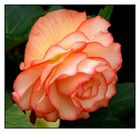BEAUTY IN BEGONIA