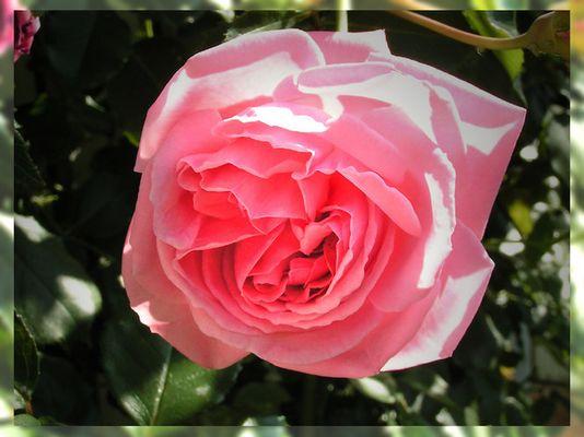 Beauty of a roseblossom...