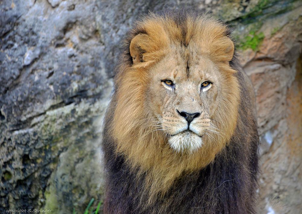 beautyful Lion