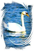 """ beautyful white swan """
