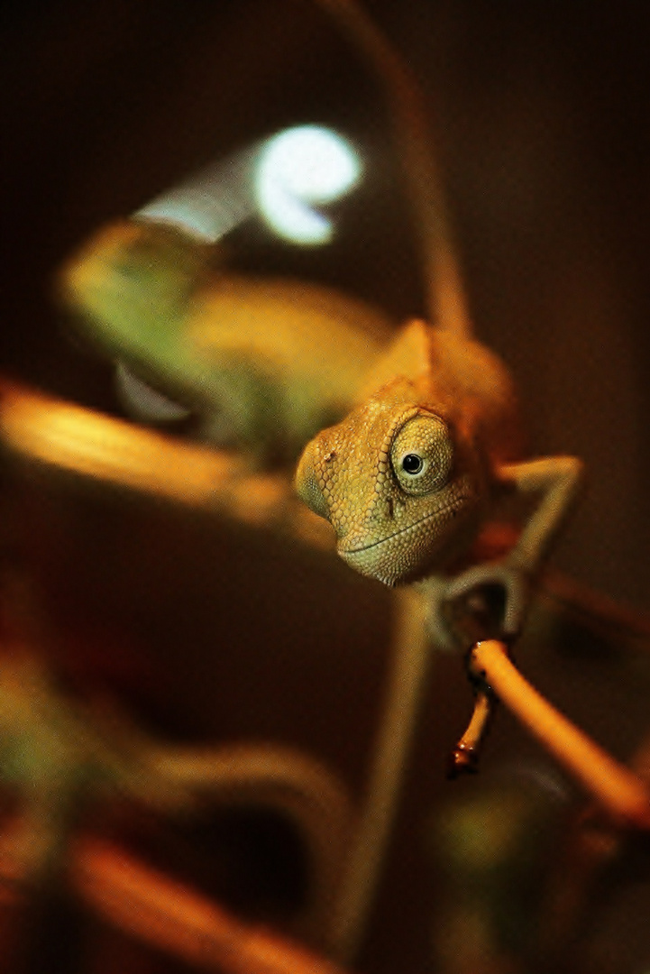 bébé caméléon calyptratus