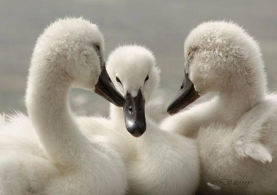 bebe cygnes