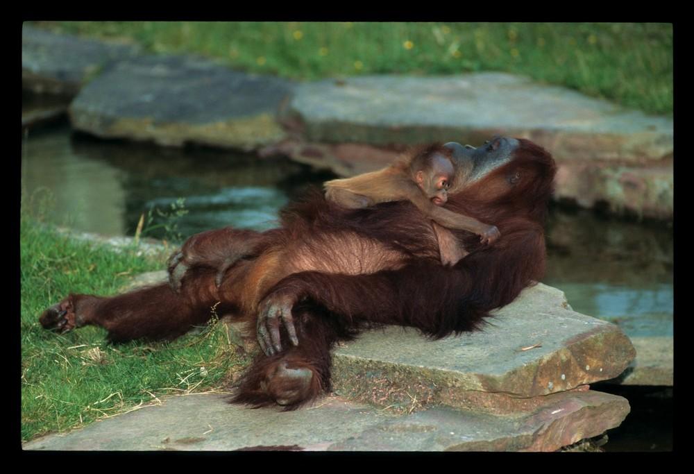 Bébé et maman Orang outan