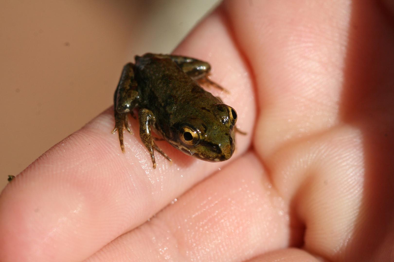 Bébé grenouille