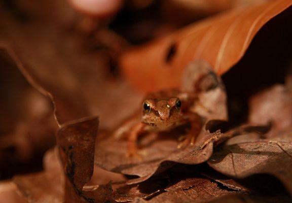 Bébé grenouille des bois