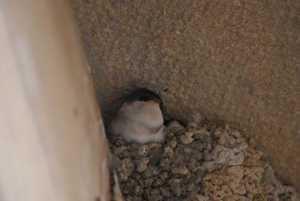 bébé hirondelle au nid