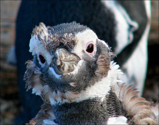 Bébé manchot, Ushuaïa
