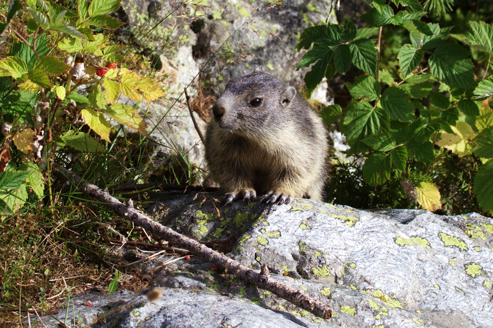 bébé marmotte ... la pt framboise c est pour moi ?????