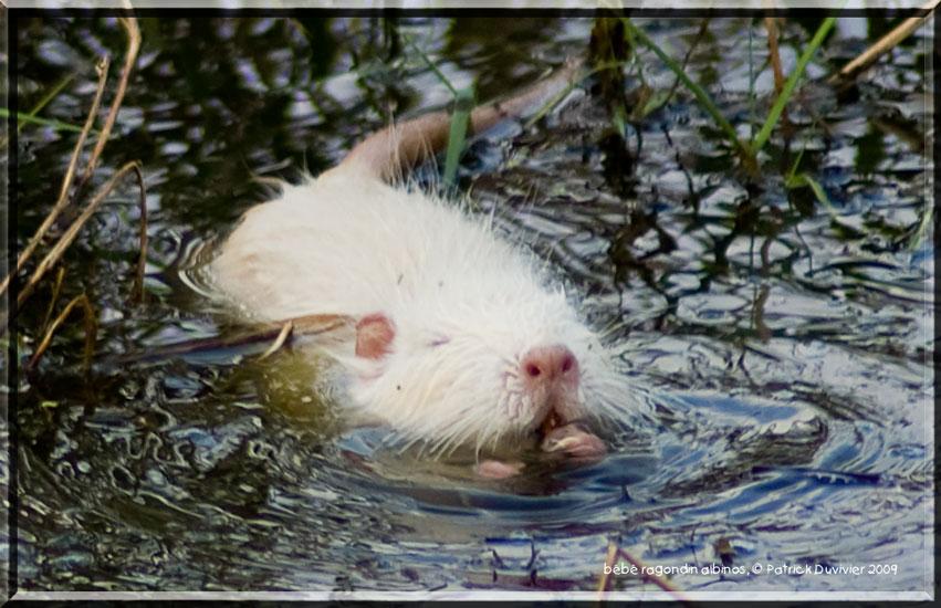 Bébé ragondin albinos