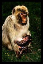Bébé singe et sa mère