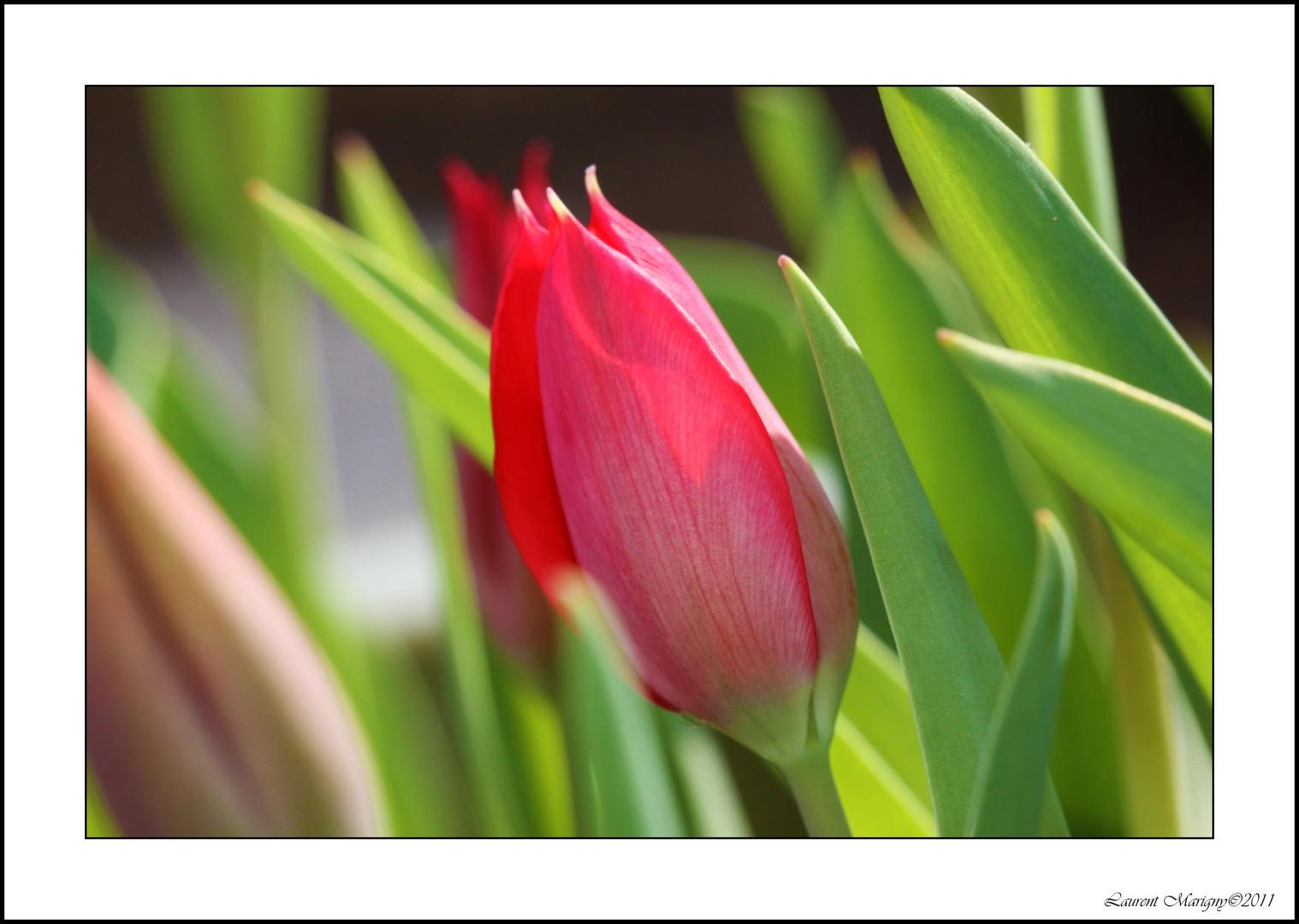 Bébé tulipe.