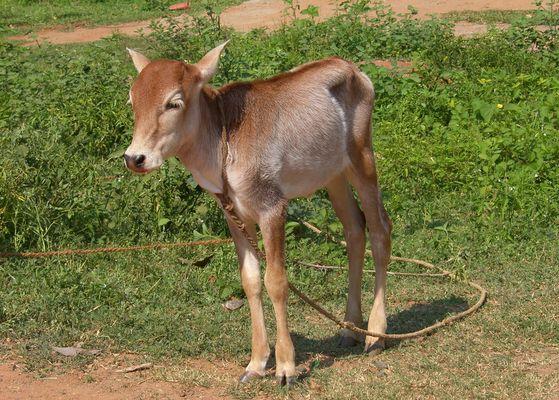 Bébé vache à Auroville