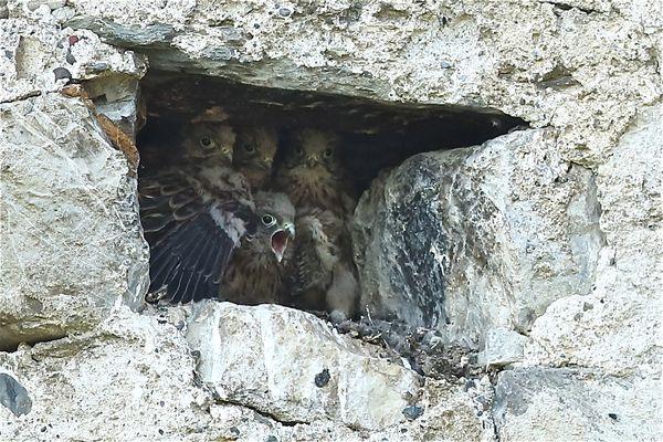 Bébés Faucons