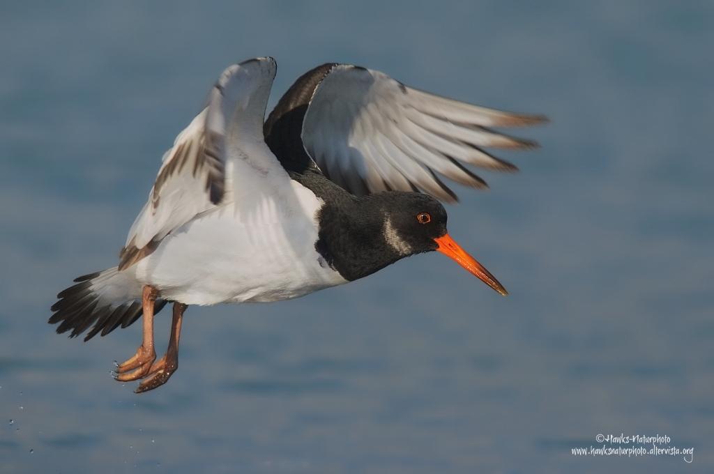 Beccaccia di mare( Oystercatcher)