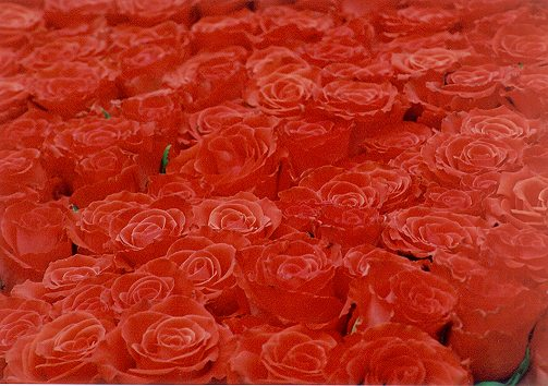 Bed of Roses II
