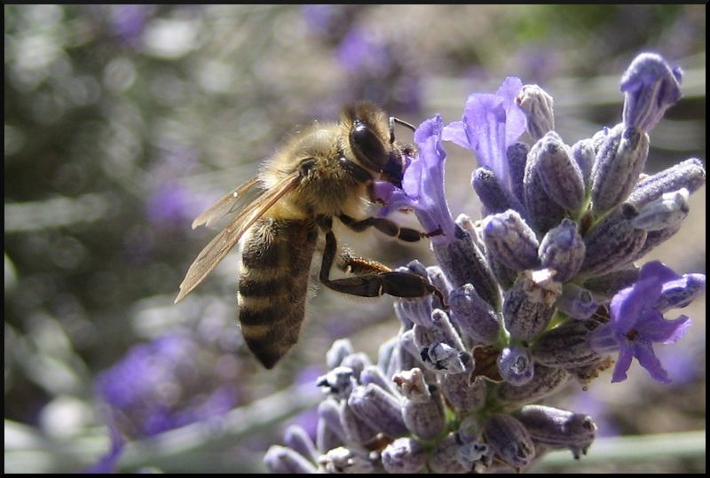 Bee drinking nectar