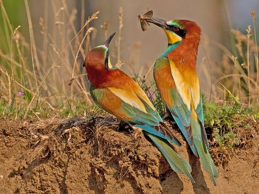 Bee-eater pair