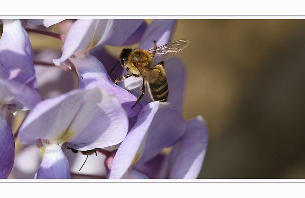Bee In violet case - I