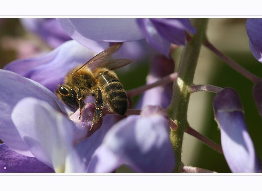 bee in violet case - II