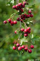 Beeren am Strauch