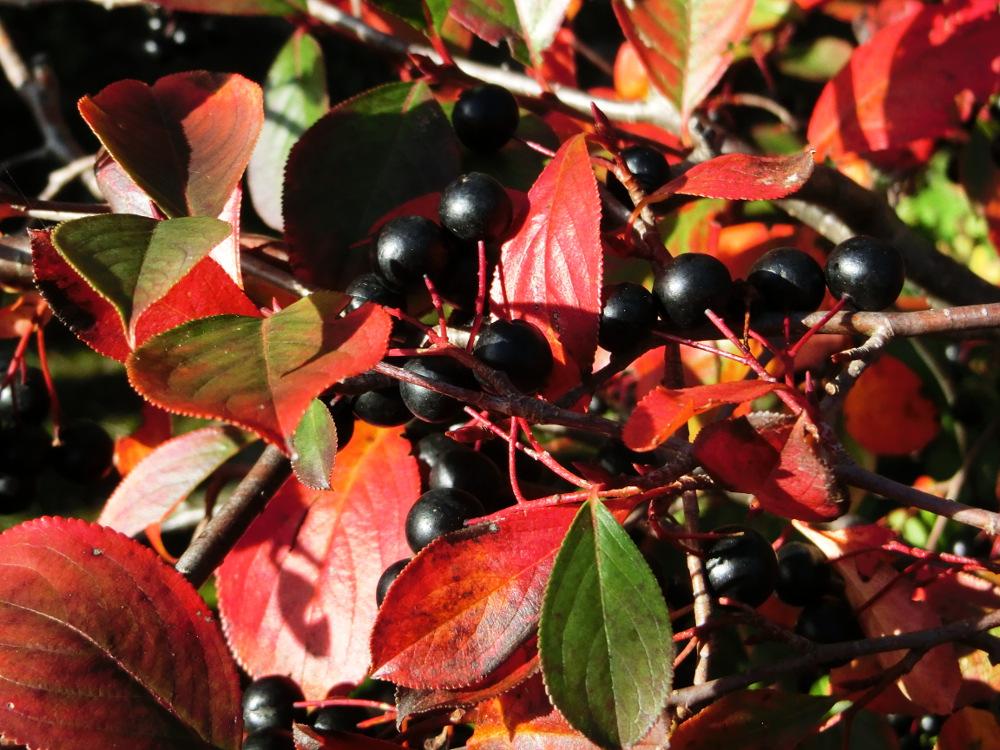 Beeren im Herbstlicht