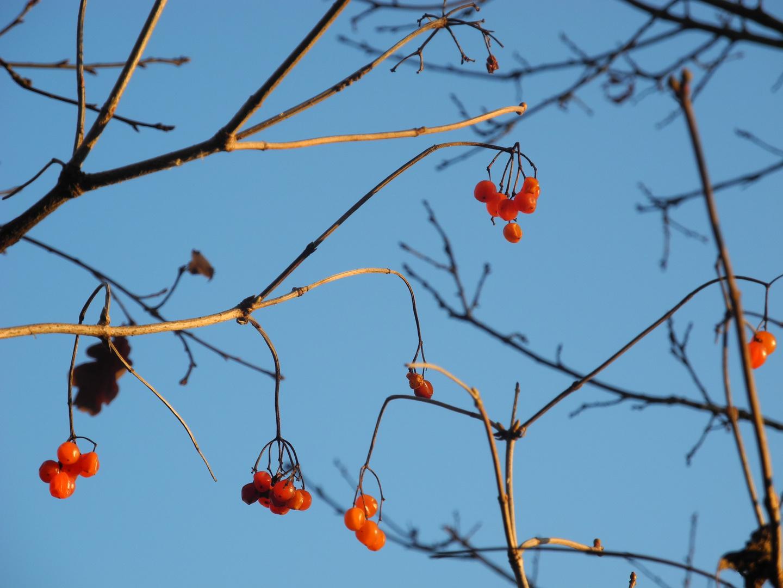 Beeren im Licht
