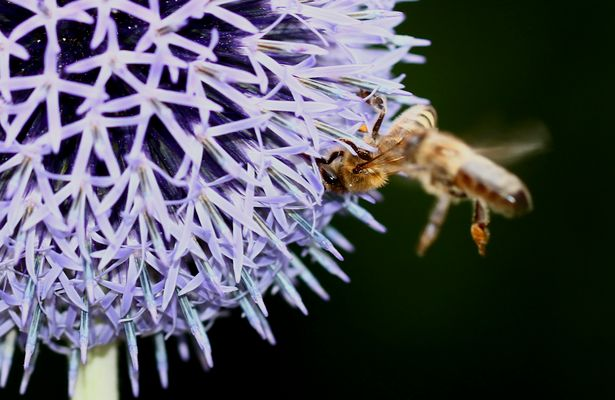 Bees colliding,
