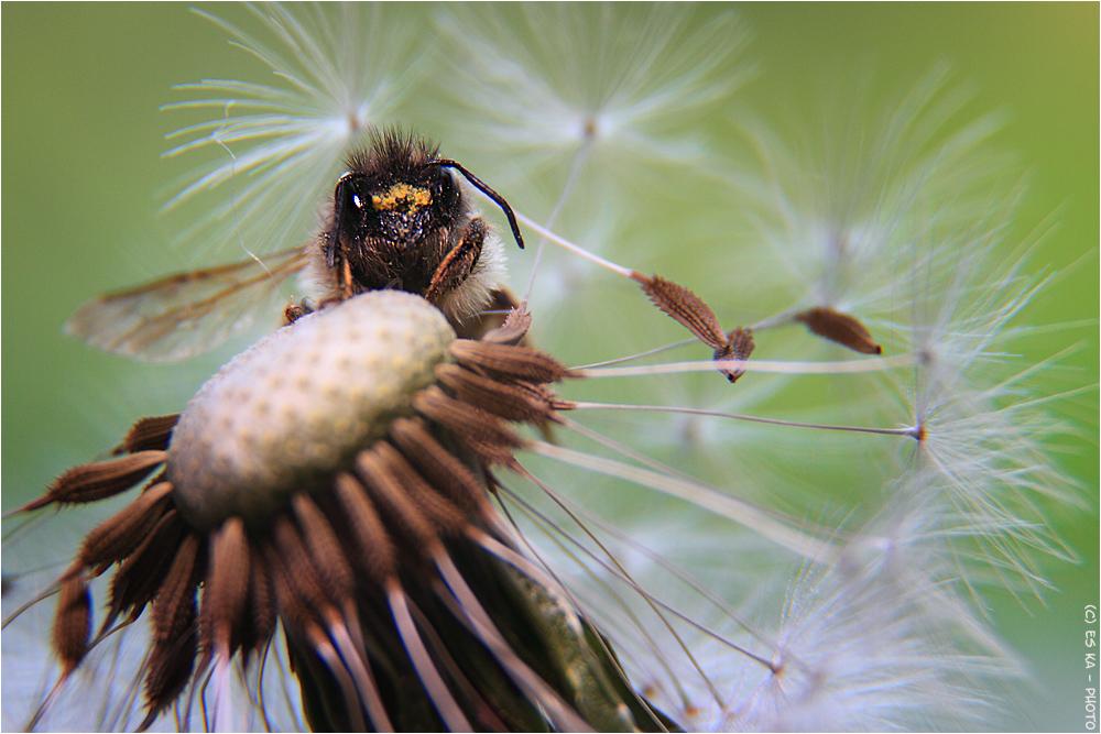"Beetle auf Pusteblume oder: ""...nanu, nix süßes mehr?"""