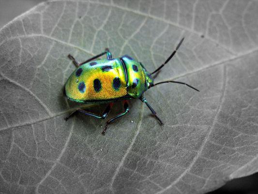 Beetle, India