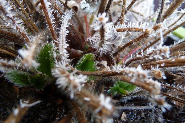 Befrorene Erdbeerpflanze
