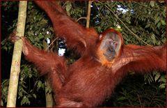 Begegnung im Dschungel- Sumatra