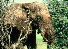Begegnung in Zimbabwe - Afrikanischer Elefant nach Schlammbad :  dreckverkrustet und tatendurstig