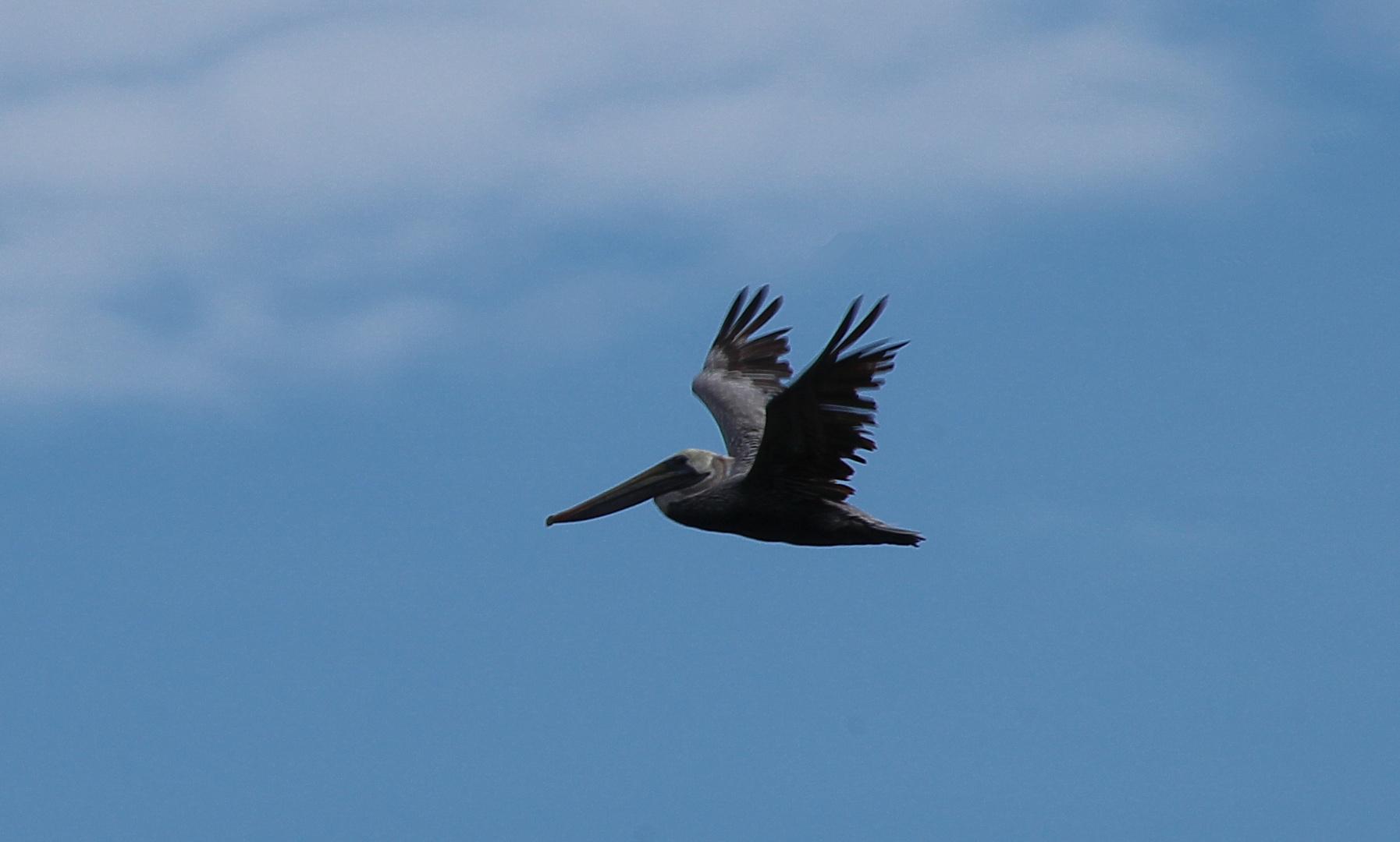 Begegnung mit dem Pelikan