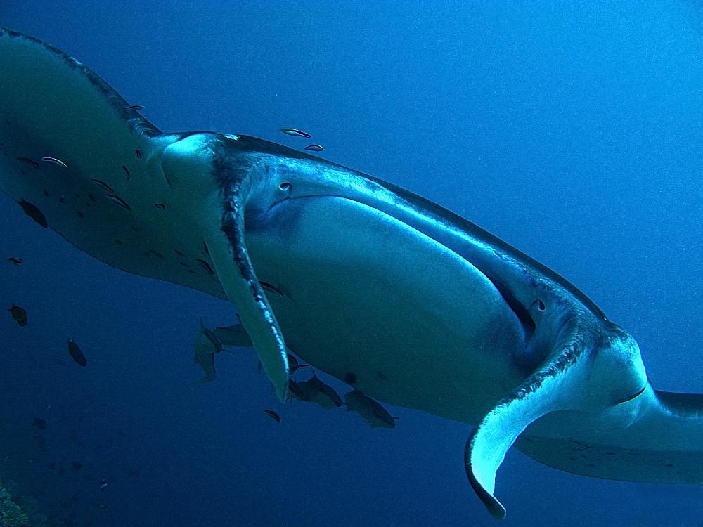Begegnungen in den Malediven Manta pur