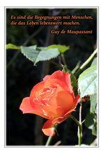Begegnungen ... (Rote Rose)