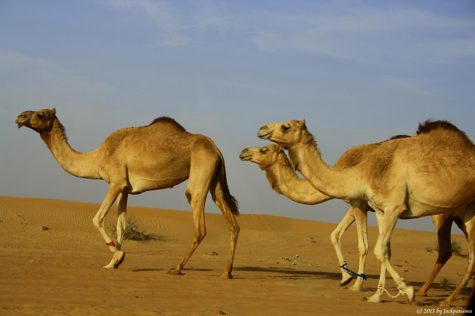 """Begegung mit den """"Wüstenschiffen"""" in der Wüste Dubai´s"""