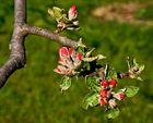 Beginnende Apfelblüte!