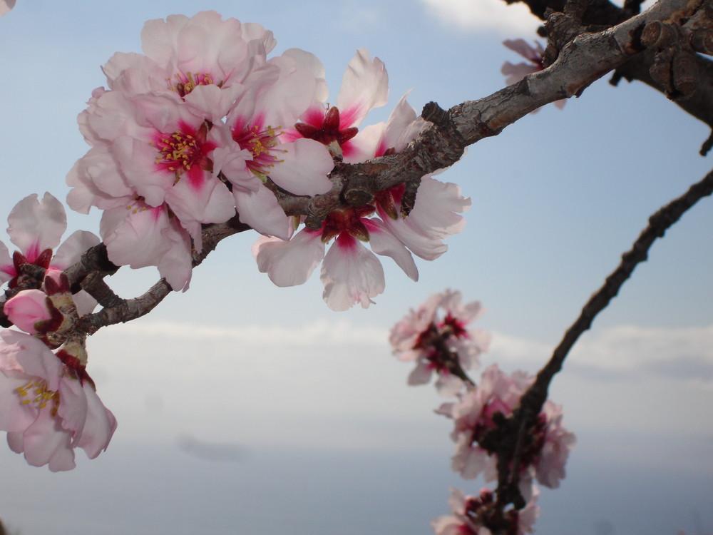 beginnende Mandelblüte