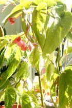 Begonia corallina