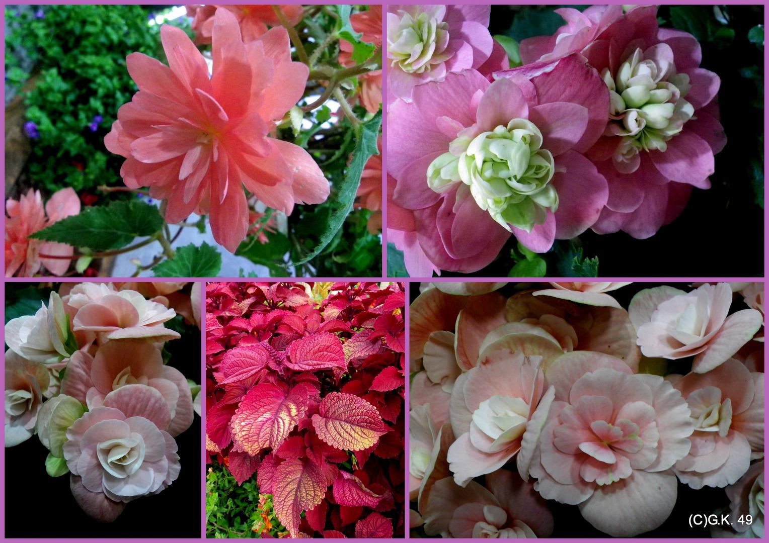 Begonien und andere Blüten auf der IGS in Wilhelmsburg fotografiert !