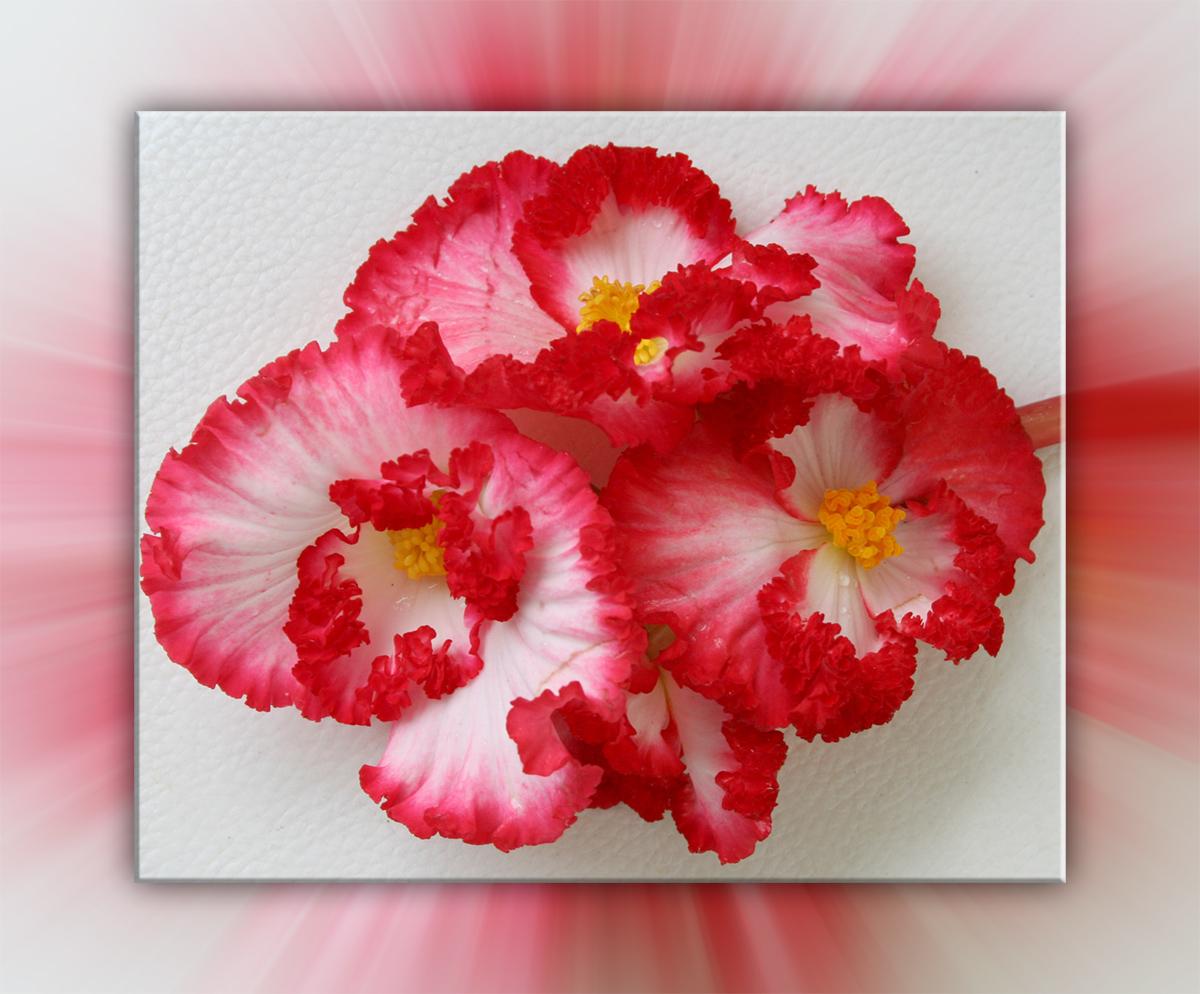 Begonienblüten