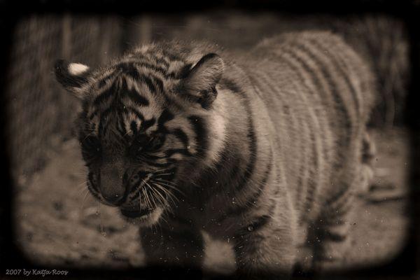 Begrüßung auf Tigerart