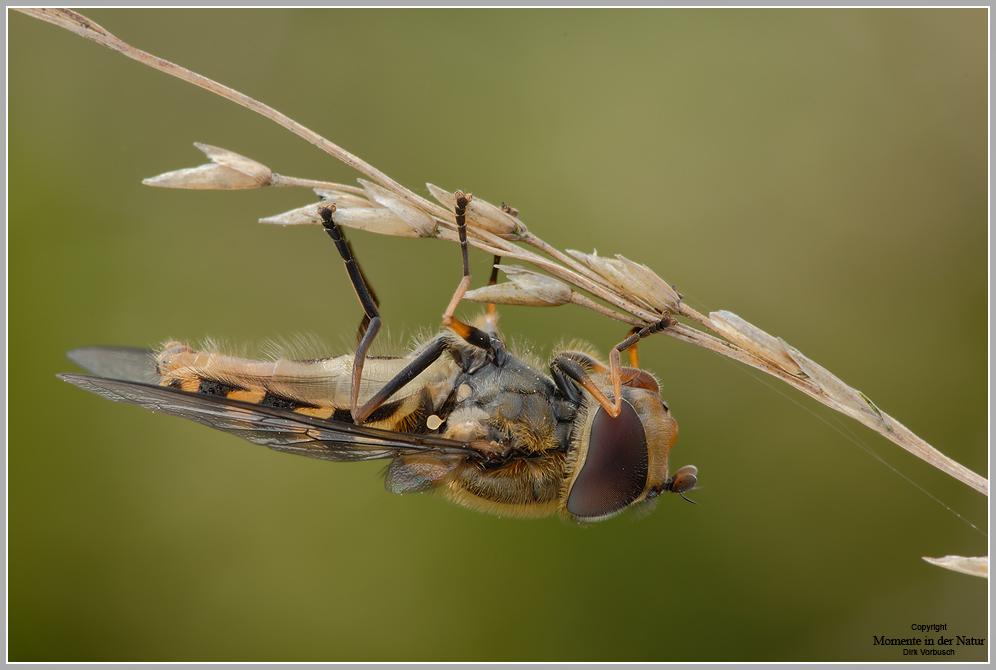 Behaarte Schwebfliege (Syrphus torvus)