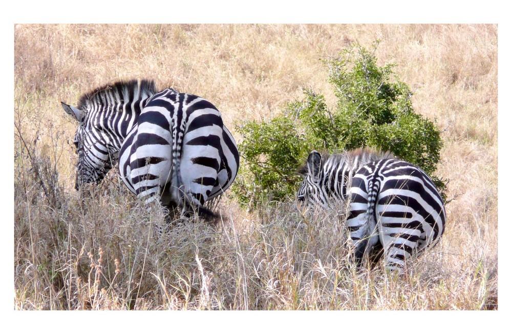 behind zebras