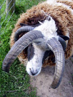 behörntes Schaf